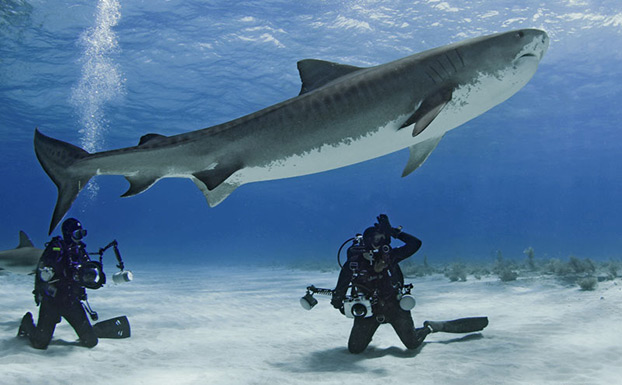 Amanda Cotton signals to fellow shark divers